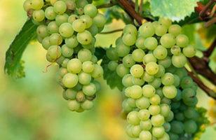 A szőlő az egészség őre