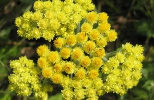 Homoki szalmagyopár (Helichrysum arenarium)