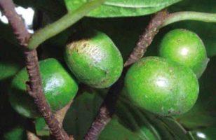 Afrikai szilvafa (Pygeum africanum)