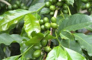 Arab kávé