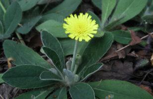 Ezüstös hölgymál (Hieracium pilosella)