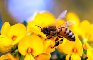 Méhcsípés elleni gyógytea